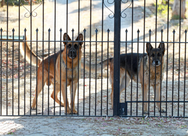 guard dogs standing at gate