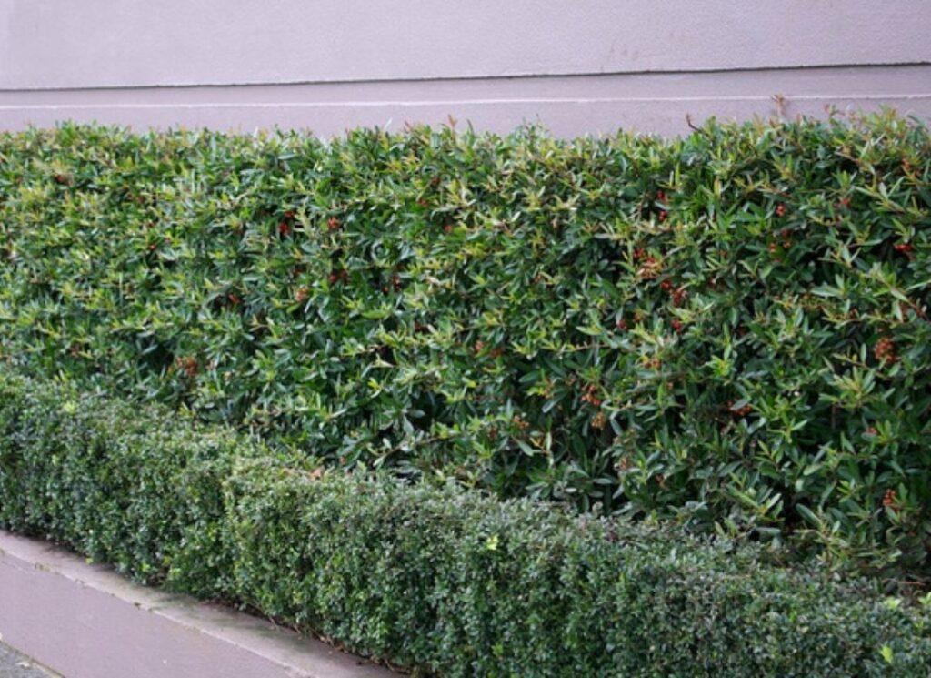 thorny-hedge